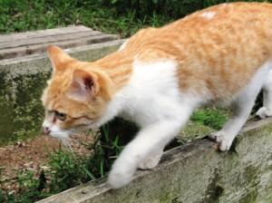 迷い猫だったトラ。今は名越さんと一緒に寝ている幸せ猫。